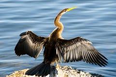 Australasian Darterfågel Arkivbild