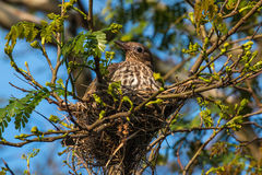 Australasian Figbird. Female perched on nest, QLD, Australia Stock Photos