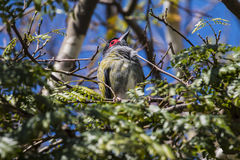 Australasian Figbird. Male perched around nest, QLD, Australia Stock Photography