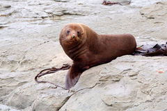 Australasian fur seal - facing camear Stock Images