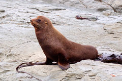 Australasian fur seal - profile Royalty Free Stock Photos