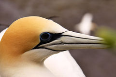 Australasian gannet, αποικία φωλιών serrator Morus, παραλία Muriwai, Νέα Ζηλανδία Στοκ Εικόνα
