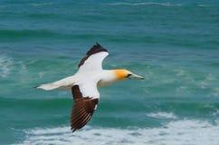 Australasian Gannet, παραλία Muriwai, βόρειο νησί, Νέα Ζηλανδία Στοκ Φωτογραφία