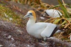 Australasian Gannet, παραλία Muriwai, βόρειο νησί, Νέα Ζηλανδία Στοκ εικόνες με δικαίωμα ελεύθερης χρήσης
