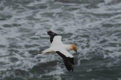 Australasian Gannet, παραλία Muriwai, βόρειο νησί, Νέα Ζηλανδία Στοκ Φωτογραφίες