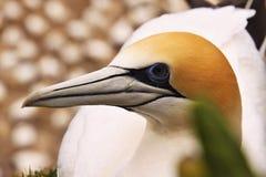Australasian gannet, колония гнезда serrator Morus, пляж Muriwai, Новая Зеландия Стоковое фото RF