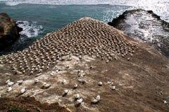 Australasian gannet, колония гнезда serrator Morus, пляж Muriwai, Новая Зеландия Стоковое Изображение