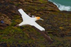 Australasian Gannet, пляж Muriwai, северный остров, Новая Зеландия Стоковые Изображения RF