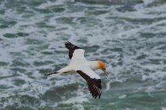 Australasian Gannet, пляж Muriwai, северный остров, Новая Зеландия Стоковая Фотография