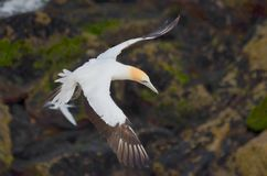 Australasian Gannet, пляж Muriwai, северный остров, Новая Зеландия Стоковое фото RF