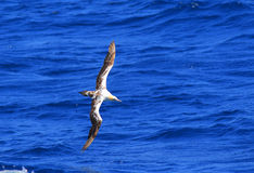 Australasian gannet Zdjęcie Stock