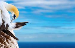 Australasian gannet stockbild