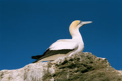 Australasian Gannet at Cape Kidnappers Royalty Free Stock Photo