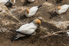 Australasian gannet checking its egg Stock Photos