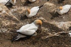 Australasian gannet checking its egg Stock Photos