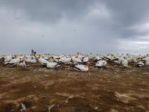 Australasian Gannet Colony, Nesting site stock photos