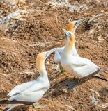 Australasian gannet Stock Photos