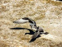 Australasian gannet Morus serrator, chicks and sub juveniles, royalty free stock photo