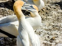 Australasian gannet Morus serrator dobierać do pary na falezach na Mura obraz royalty free
