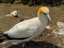 Australasian gannet Morus serrator, Murawai plaża, Auckland, N Obrazy Royalty Free