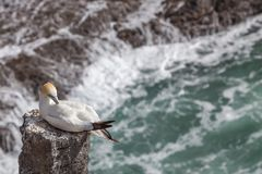 The Australasian Gannet in Muriwai Beach. The Australasian Gannet  clean-up itself on timber in Muriwai Beach on The West Coast of The North Island, Auckland Royalty Free Stock Images