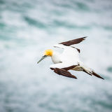 The Australasian Gannet Royalty Free Stock Image
