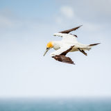 The Australasian Gannet Stock Photo