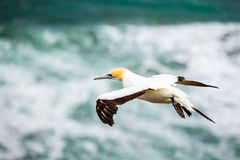 The Australasian Gannet , Muriwai Beach Stock Image
