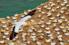 Australasian Gannets, пляж Muriwai, северный остров, Новая Зеландия Стоковая Фотография RF