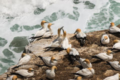 Australasian Gannets in courtship Royalty Free Stock Images