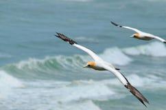 Australasian Gannets, Muriwai plaża, Północna wyspa, Nowa Zelandia Zdjęcia Royalty Free