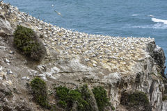 Australasian gannets Royalty Free Stock Photo