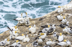 Australasian gannets Royalty Free Stock Images