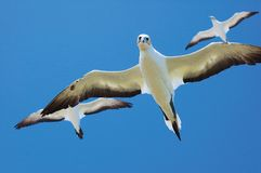 Australasian Gannets, Portland, Vic Royalty Free Stock Photo