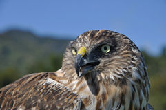 Australasian Harrier Hawk Royalty Free Stock Image