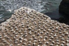 Australasian havssulor som bygga bo på klippor Royaltyfria Bilder