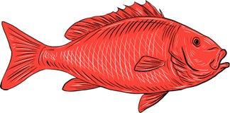 Australasian Rotbarsch-Schwimmen-Zeichnung lizenzfreie abbildung