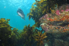 Australasian snapper above rocky reef Royalty Free Stock Photos
