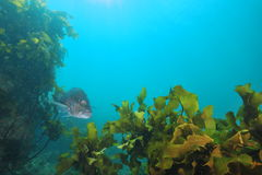 Australasian snapper among brown kelp