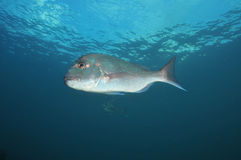 Australasian snapper Royalty Free Stock Images