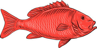 Australasian Snapper Swimming Drawing Royalty Free Stock Photo
