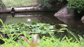 Australasian Swamphen enjoys the pond of the Japanese garden within Brisbane`s Mount Coo-tha Botanic gardens, Australia. stock footage