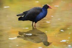 Australasian Swamphen/NZ Pukeko en Bezinning royalty-vrije stock afbeeldingen