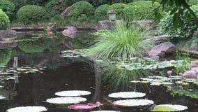 Australasian Swamphen, porphyriomelanotus, i dammet av en landskap japanträdgård i Australien arkivfilmer