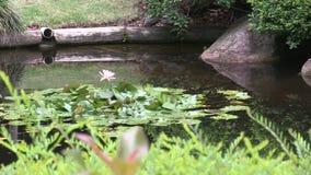 Australasian Swamphen tycker om dammet av den japanska trädgården inom botaniska trädgårdar för kuttrande-tha för montering för B arkivfilmer