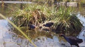 Australasian Swamphens nesting in pond stock video