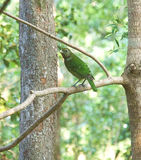 Australië Cat Bird Wildlife in Queensland stock foto