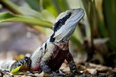 In Australië, een groot reptiel, een leguaan van de hagedisfamilie stock afbeeldingen