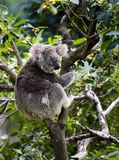 In Australië, een grote koala, meester van de bomen Royalty-vrije Stock Foto