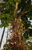 Australië een Verbazende Exotische Kanonskogelboom in Steenhopen royalty-vrije stock foto's